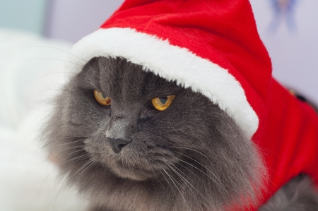 Beautiful gray cat with a Santa suit, Christmas clothes photo