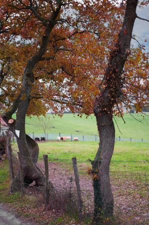 Fenced pastures and oak trees. Rural landscape