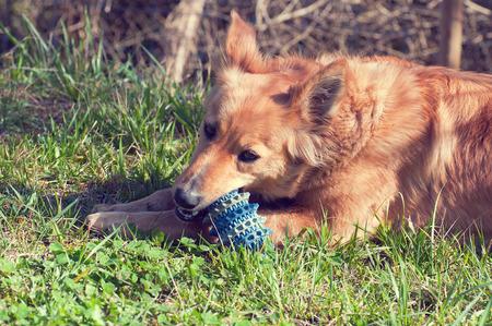 Baskische sheepherd Hund spielen im Hof ??mit einem Ball