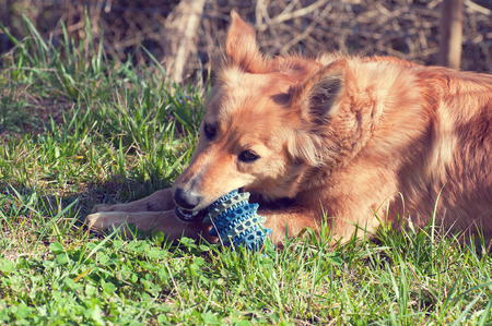 Basque sheepherd dog playing in the yard with a ball