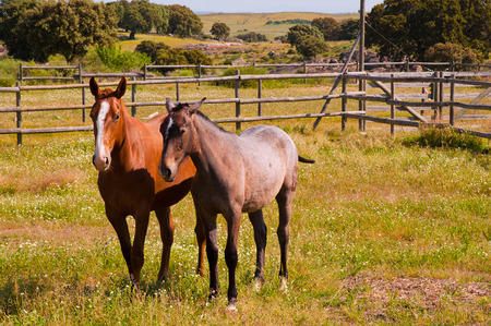 Horses in the farm field. Spanish purebred photo