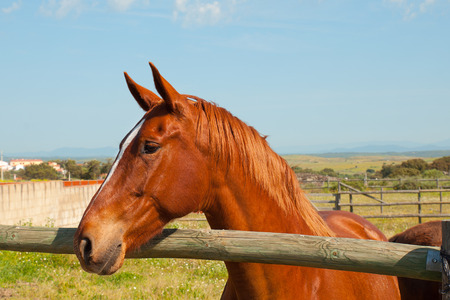 fenced in: Brown spanish horse in a fenced field