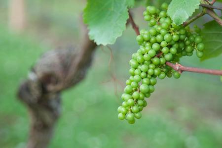 Gr�ne Trauben im Weinberg