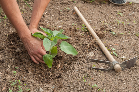 Farmers hands planting a sunflower in the garden