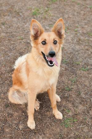 Baskische Sch�fer Hundeportrait Lizenzfreie Bilder