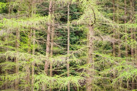 modrzew: Larch tree branches