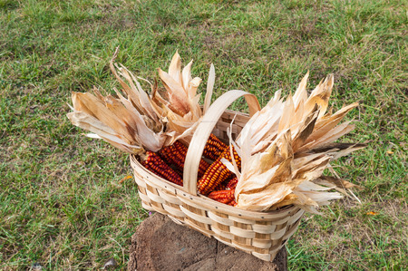 recently: Some corncob in a basket, recently harvested
