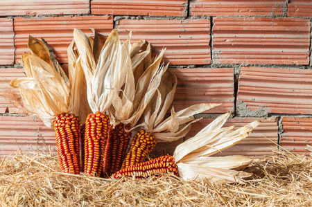 Some corcobs recently harvested. Red corn Stock Photo
