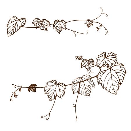 grape vines: Set of grape vines. Vector illustration