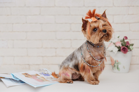 Cute yorkshire terrier and flowers on white brick wall background. Yorkshire terrier portrait.
