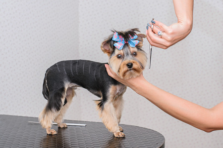 Hands combing york terrier. Groomer working, cute little dog. York grooming. 免版税图像