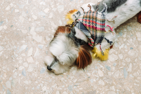 Cute lap dog in colorful scarf is sleeping on the ground. Top view, copy space. Imagens