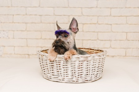 Cute yorkshire terrier with violet brows after grooming in white basket. Grooming concept. Foto de archivo