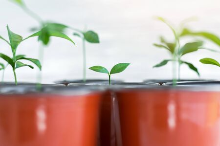 Green young plants in brown pots. Potted plants on white wooden background. Gardening concept. Stockfoto