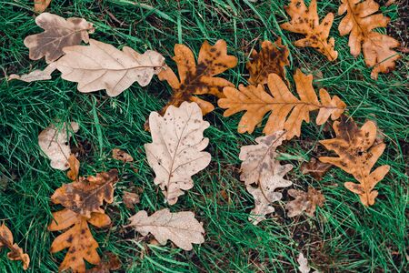 Fallen autumn brown oak leaves on green grass with water drops on it. Top view. Stockfoto