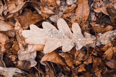 Fallen autumn brown oak leaves with water drops on it. Top view.