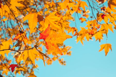 Orange autumn leaves in sun rays and blue sky. Natural background.