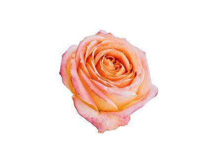 Beautiful big orange rose isolated on white background. Close up view.
