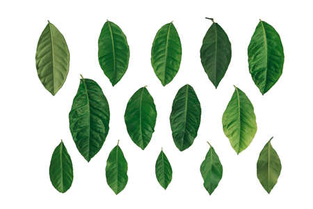 Set of green citrus leaves isolated on white background.