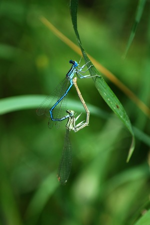 Dragonfly Enallagma Cyathigerum pairing
