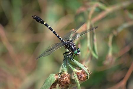 Dragonfly Onychogomphus forcipatus profile