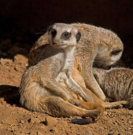 mobs: Slender-tailed Meerkats (Suricata suricatta) relaxing and grooming themselves.