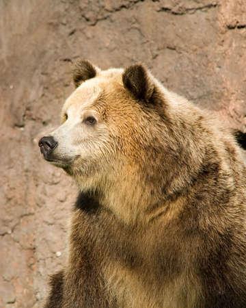arctos: Femminile Grizzly Bear (Ursus arctos) nel profilo.