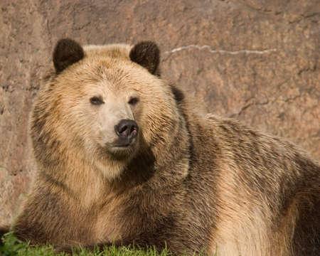 arctos: Donna Grizzly Bear (Ursus arctos) di relax al sole.