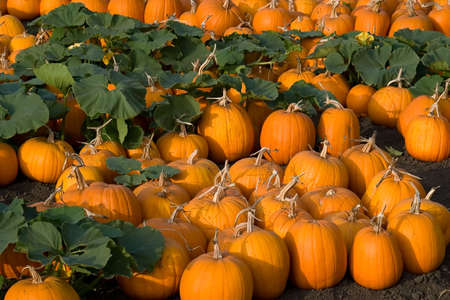 agribusiness: A pumpkin patch in the evening light.
