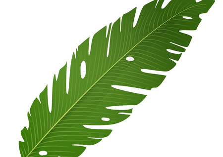Isolated green banana leaf on white background. Vector illustration Illustration