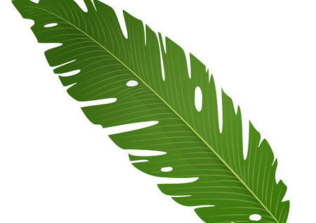 Isolated green banana leaf on white background. Vector illustration