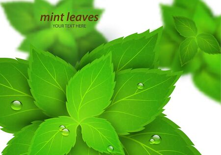 Fresh mint on a white background. Menthol is a healthy scent. Herbal natural plant. Mint green leaves. Vector illustration for your design. Stock Photo