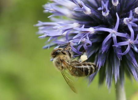 pflanzen: Blaue Sommerblume mit einer Biene.