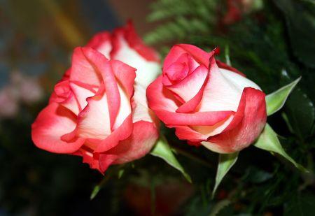 Rose  Rosen