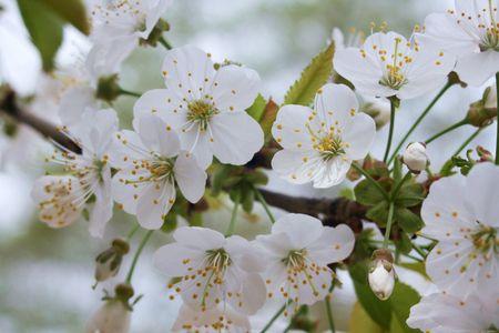 gelb: Kirschbl�ten