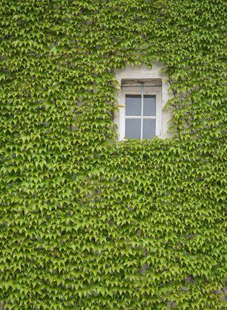 Weinranken um den weißer Fenster
