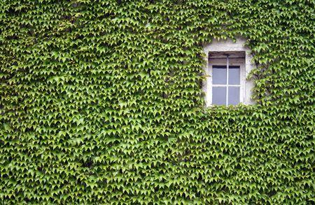 Weinranken um den wei�er Fenster