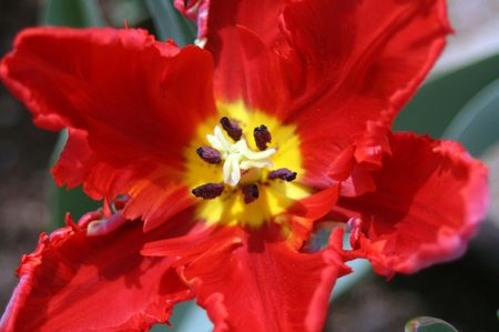 rote: Rote Tulpe
