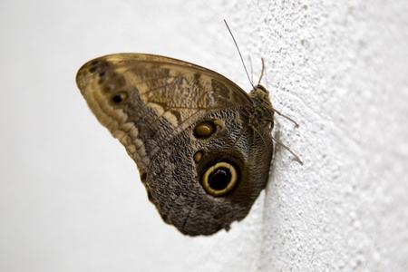 Giant owl butterfly, caligo eurilochus Stock fotó