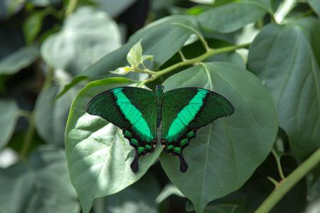 緑の縞模様の孔雀蝶、アゲハ パリヌルス 写真素材