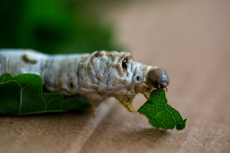 Silkworm eating mulberry green leaf