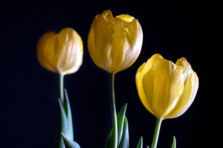 three yellow tulips on black background