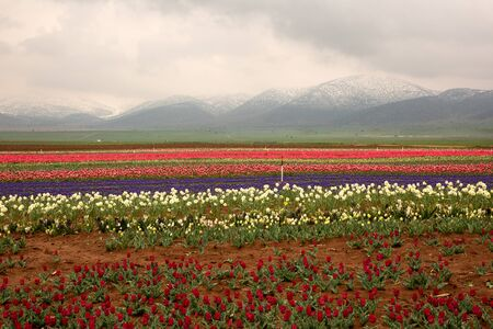 The blooming tulips in Konya, Turkey