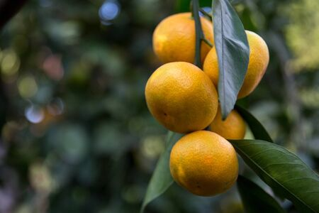 tangerines or mandarins on a tree