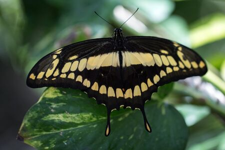 Giant Swallowtail butterfly (Papilio cresphontes) on a leaf Фото со стока
