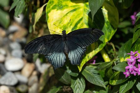 Papilio memnon butterfly (Great Mormon) on a leaf