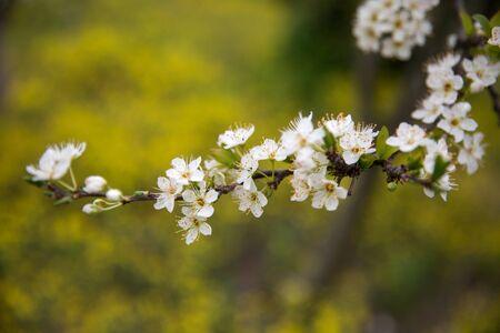 Blossoming Almond Tree Branches Фото со стока