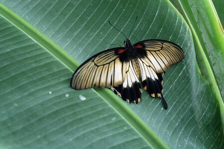 Great Yellow Mormon butterfly (Papilio lowi or Papilio lowii)