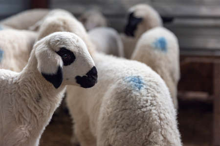 sheep and lambs in the fold Stock Photo
