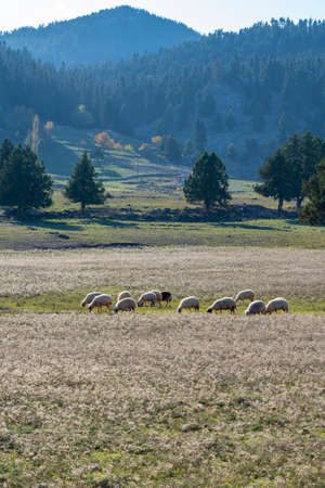 Sheeps and lambs on the rural